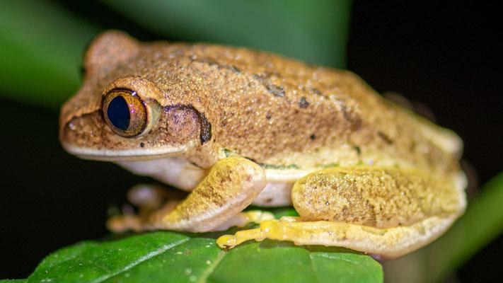Afrixalus sp.
