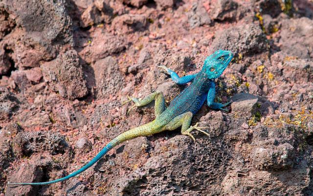 Agame à tête bleue, Acanthocercus atrcollis