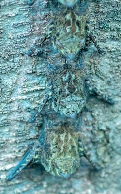 Chauve-souris à long nez, Rhynchonycteris naso