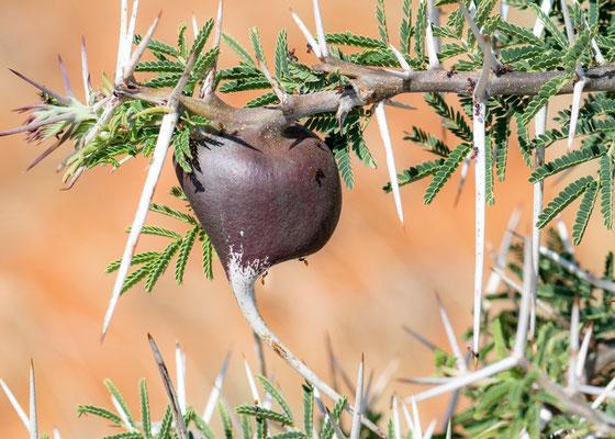 Acacia drepanolobium, des fourmis vivent dans les épines gonflées de ces arbres. Totale Symbiose.
