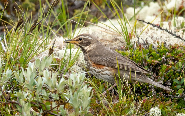 Redwing, Turdus iliacus