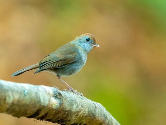 Ruddy-capped Nightingale-Thrush, Catharus frantzii. Unusual individual, very bluish.