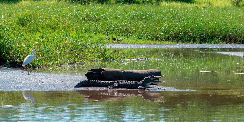 Crocodile d'Amérique, Crocodylus acutus et Grande aigrette, Ardea alba fleuve Tarcoles