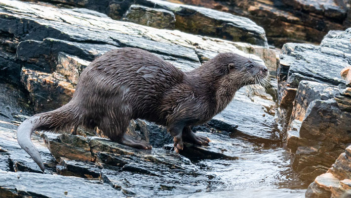 Loutre d'Europe, Lutra lutra