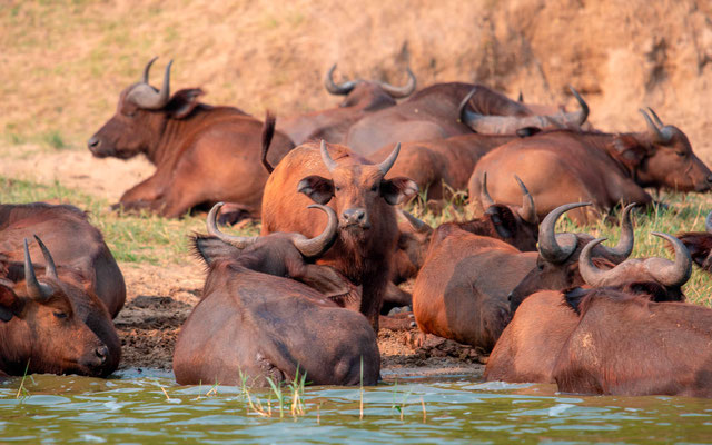Group  of African Buffalo,, Syncerus caffer