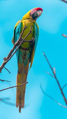 Great Green Macaw, Ara ambiguus
