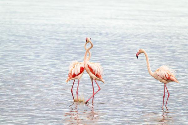 Rosa Flamingo (Ndutusee, Tanzania)