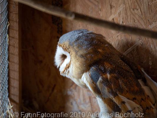 Schleiereule (Vogelauffangstation Papendorf)