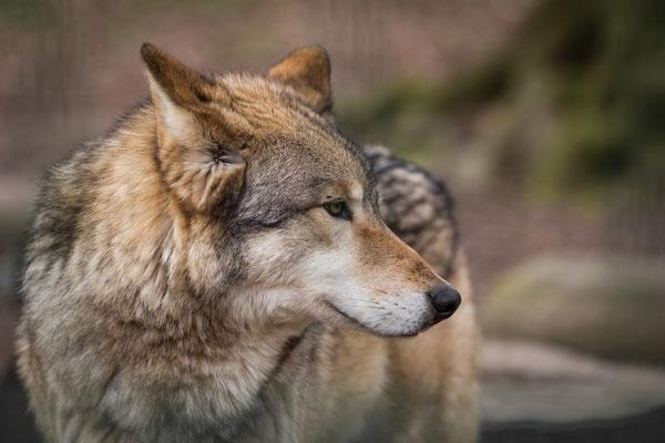 März 2016 Wolfspfleger in Springe