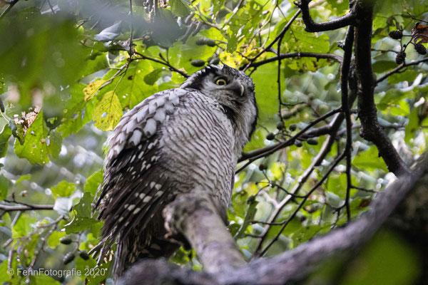 Sperbereule (Vogelpark Marlow)