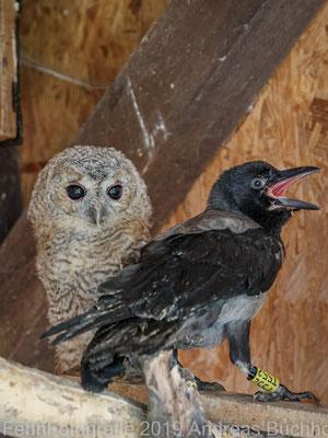 Junger Waldkauz (Vogelauffangstation Papendorf)