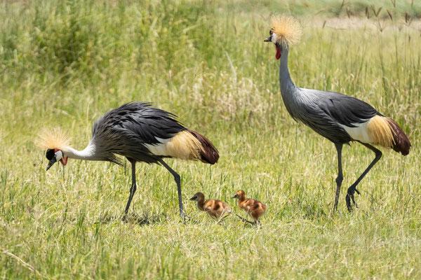 Kronenkraniche im Ngorongoro