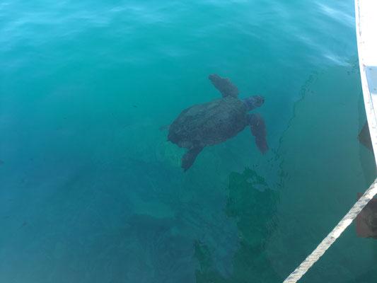 Schildkröte neben unserem Boot in Monemvasia