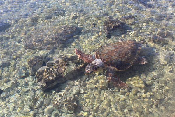 Im Hafen von Monemvasia - eine von vielen Schildkröten
