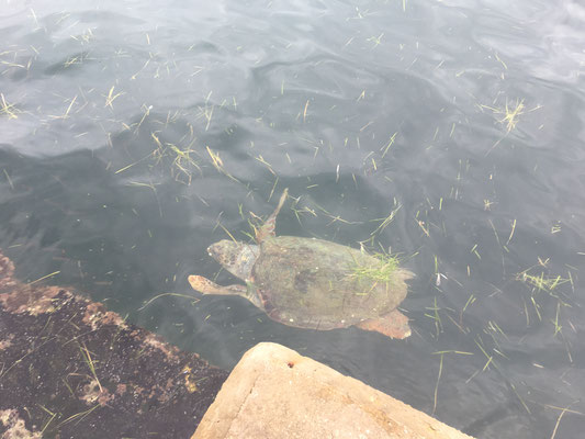 Schildkröte im Hafenbecken