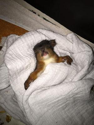 Der kleine Eichhörnchenmann kam mit schwerem Schädel Hirn Trauma und konnte bei uns vollständig genesen. Er lebt inzwischen mit einer Partnerin in Tirol.