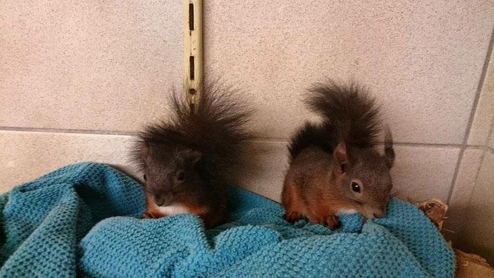Eichhörnchen mit Partnerin