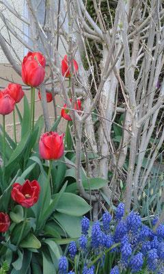 Tulpen und Traubenhyazinthe