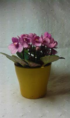 Usambaraveilchen rosa