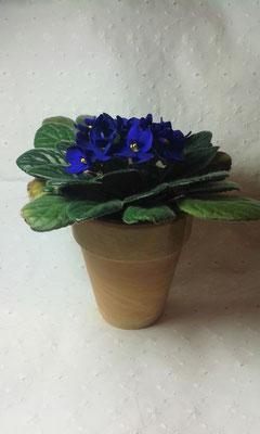 Usambaraveilchen blau