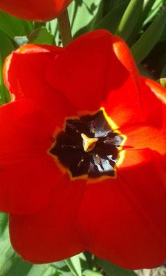 Tulpe Symmetrien