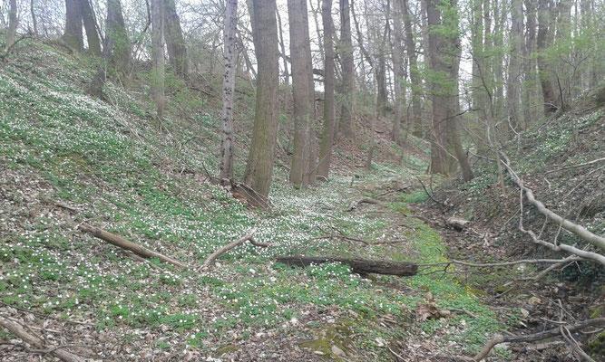 Wald mit Buschwindröschen