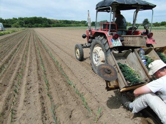 so werden >15.000 Stk gepflanzt