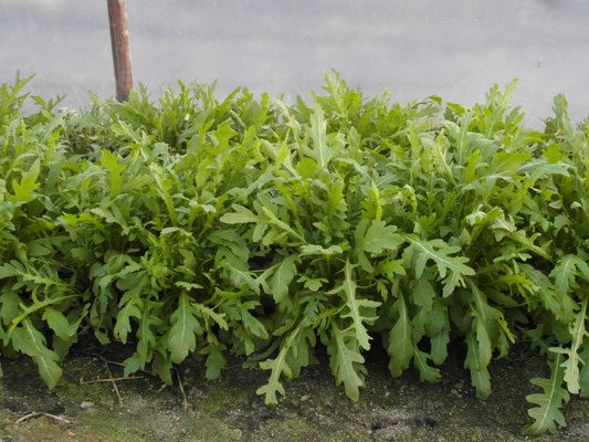Rucola bringt Aroma in den Salat