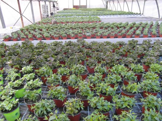 Die ersten Beet- und Balkonpflanzen