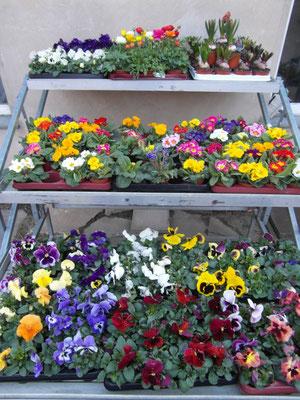 noch gibt es eine bunte Auswahl an Frühjahrsblühern