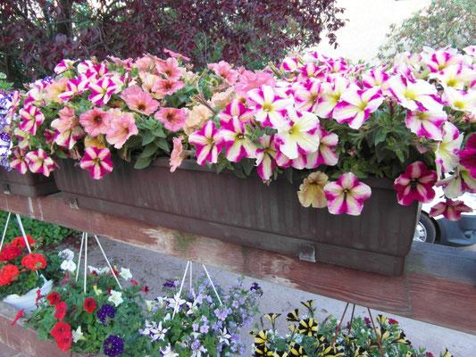 ... Blumenkasten direkt im Gewächshaus pflanzen lassen