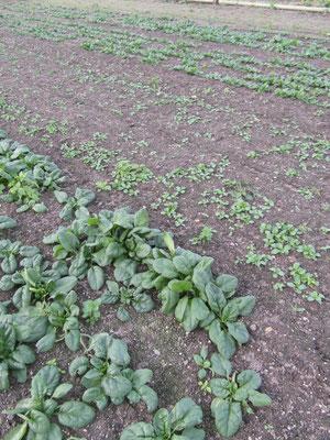 1. Satz Spinat und Feldsalat