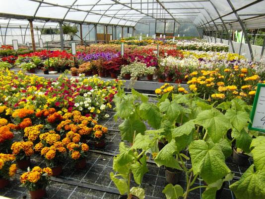 Wir bieten noch ein reiches Beet und Balkonpflanzen Sortiment