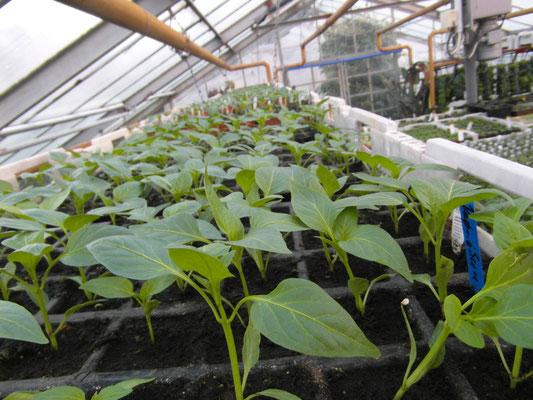 Paprika muss noch etwas warten bis zum pflanzen