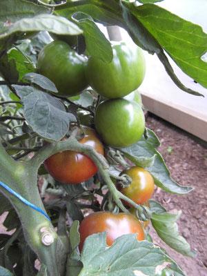 dunkle Tomaten