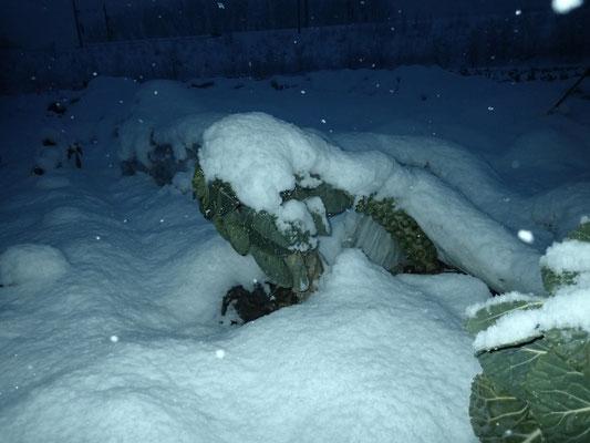 Der Rosenkohl kämpft mit dem Gewicht des nassen Schnee's