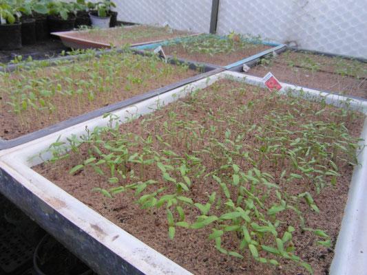 frisch gekeimte Tomaten-Jungpflanzen