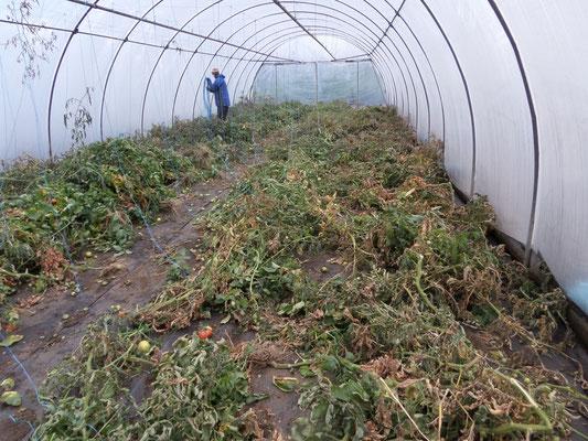 räumen eines Tomatenhauses