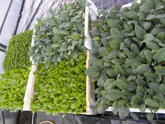 die ersten Gemüsejungpflanzen sind verfügbar