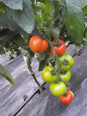 Normale Tomaten (auf Bestellung sind auch grüne Lieferbar)