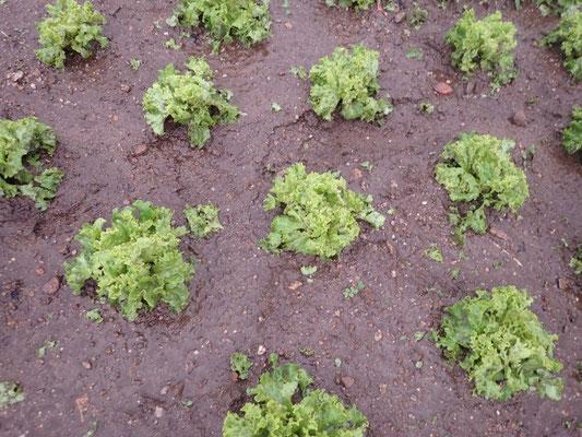 Salat zu geschwämmt