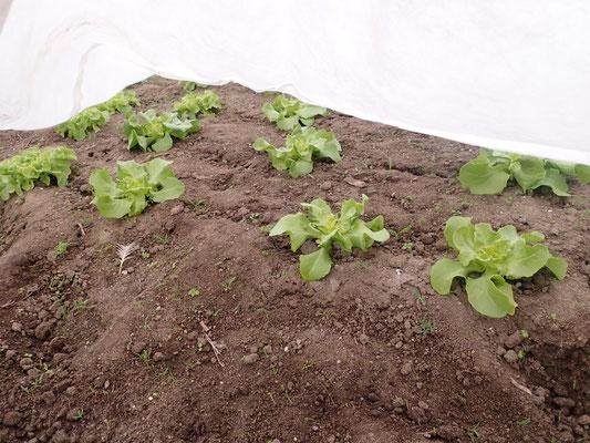 1. Freiland Satz Salat