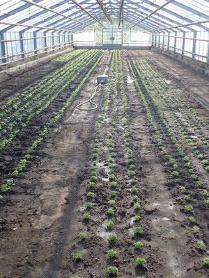 frisch gepflanzte Petersilie für den Winter