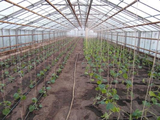 Frisch gepflanze Gurken
