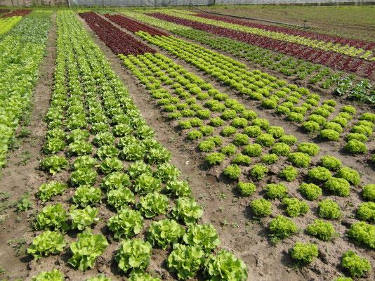 im frisch vom Feld unser Salat