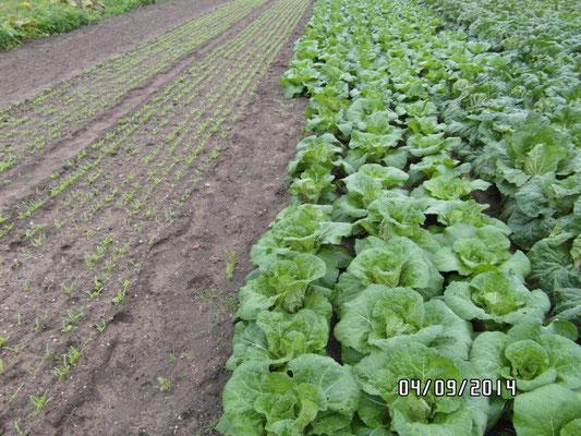 Chinakohl und (noch) kleiner Feldsalat