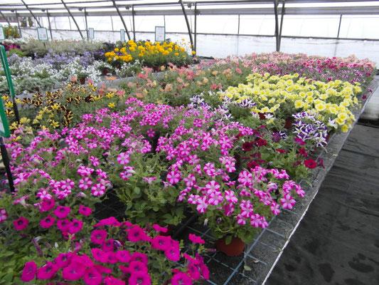 Beet- und Balkonpflanzen ...