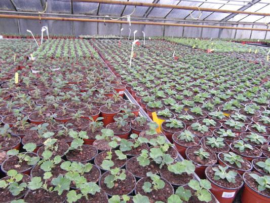 frisch getopfte Beet- u. Blkonpflanzen