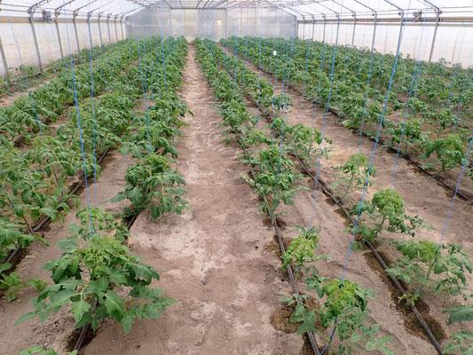 Tomaten mit beginnender Blüte