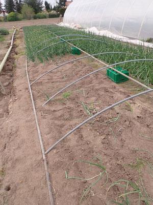 Die Lauchzwiebln nach dem Sturm im März jetzt ohne Dach